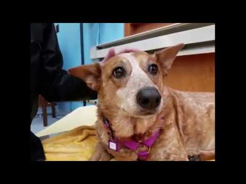 Zoe, a 9-yr-old Australian cattle dog at Muttville