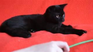 Купить шотландского котенка: котята для Вас! Черные шотландские котята.