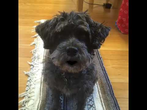 Gypsy the Schnoodle with advice