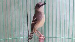 Burung Ciblek Gacor Super Ngotot Brem Kasar