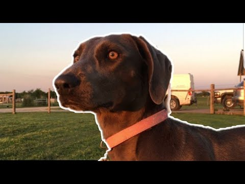 Training A Blue Lacy For Blood Tracking