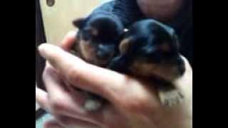 当犬舎で生まれたヨークシャーテリアの赤ちゃんです。 見た目も大きさも...