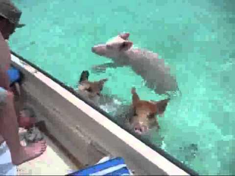 iFun ru video Morskie svinki
