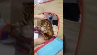 Бенжистар (Bengystar) - питомник бенгальских кошек