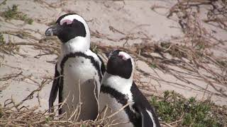 African Penguins at Boulders, Table Mountain National Park, South Africa