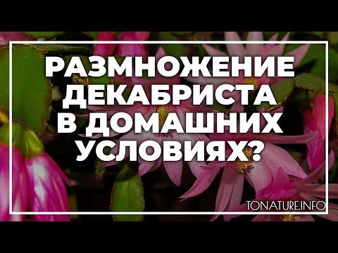 Размножение декабриста в домашних условиях | toNature.Info
