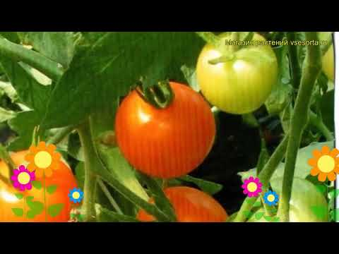 Томат обыкновенный Ликер F1 Оранжевый. Краткий обзор, описание характеристик, где купить семена