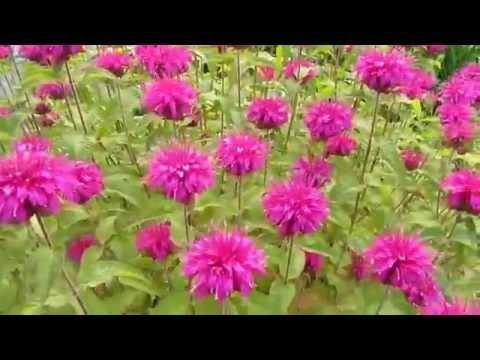 Цветы. Монарда двойчатая.Полезный чай с монардой с запахом бергамота