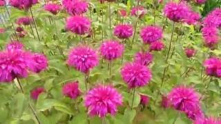 Цветок монарда