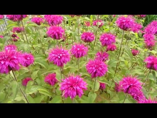 Цветок монарда видео