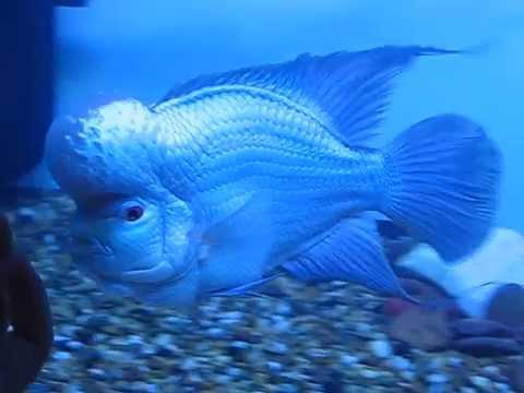 Pin by Mészáros Attila on Flowers Horn Fish Pinterest Horn - marine biologist job description