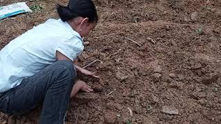 Giúp bố mẹ đi trồng khoai sọ | Trần Ngọc Ánh