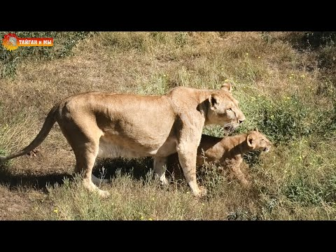Вот так удача встретили Лолу, да еще и с малышом! Львы. Тайган. Lions life in Taigan.