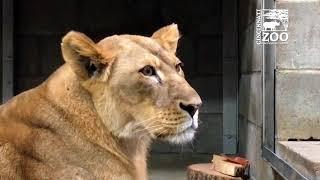 Lions Roar - Cincinnati Zoo