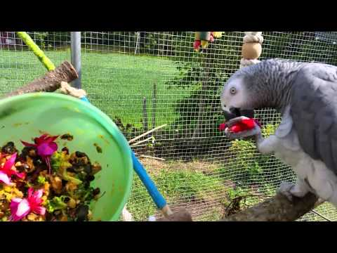 African Grey parrots living outdoors in Norway