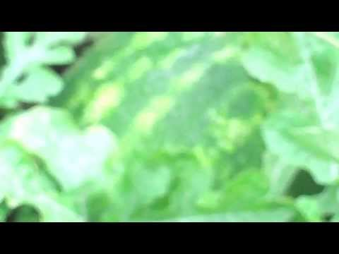 A Sweet Watermelon - Organic Urban Farming/Gardening In Detroit