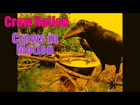 CrowNation - The Life of a Crow In HD