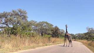 Giraffe owns the road thumbnail