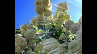 Бульденеж, неописуемая красота. Flowers. Spring. Эти белые цветы великолепны.
