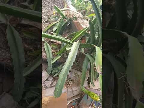 Botões florais da Pitaya prestes a florir/ Santana do Ipanema AL