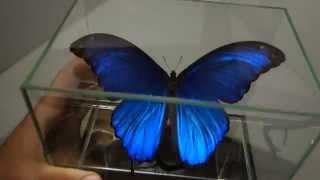 Бабочка в кубе ( Морфида, morpho didius) стильный подарок, настоящая бабочка из Перу(Эксклюзивная работа. Настоящая тропическая бабочка Морфо Дидиус (Morpho Didius) из Южной Америки (Перу, Икитос)...., 2015-11-20T18:43:40.000Z)