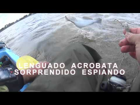 LENGUADO ACROBATA   jumping Halibut