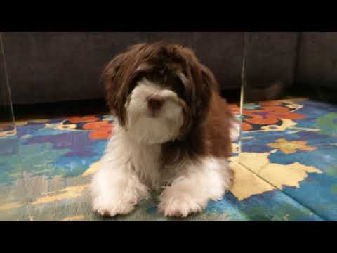 Coco 5 months old havanese -  blueberry and playing around