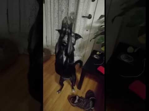 Meet Sydney a Shiba Inu currently available for adoption at Petango.com! 10/18/2016 10:25:01 AM
