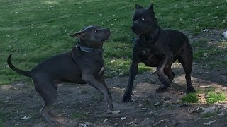 Cane Corso Gets Double Paw Swiped