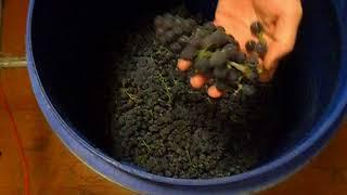 самодельное домашнее виноградное вино изабелла ч1