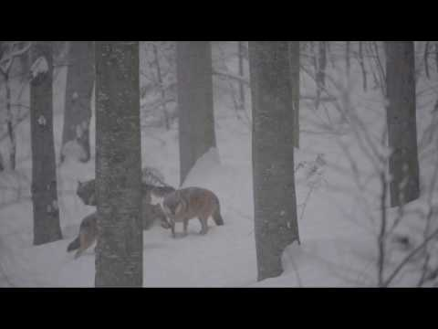 Pack of grey wolves (Canis lupus) howling in the snow, Germany.