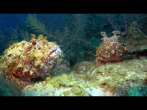 Caribbean Scorpion Fish - Master Of Disguise