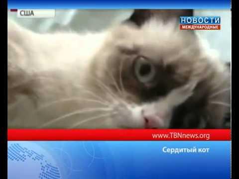 Сердитый кот покоряет мир Grumpy Cat  ТБН - Россия