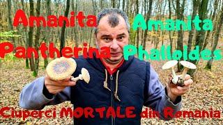 Cele mai toxice ciuperci (mortale) din Romania - Amanita Pantherina si Amanita Phalloides
