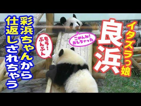 いたずらっ娘❓良浜🐼🌹お母さんが彩浜🐼🌈ちゃんにちょっかいを💗可愛い仕返しも❗ ジャイアントパンダ アドベンチャーワールド ぱんだふる動画 AnimalVideo Giantpanda