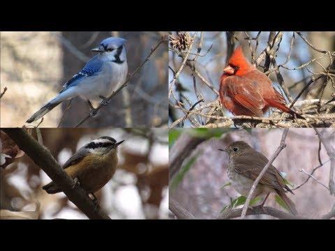 Backyard Birds: Maryland in the Winter - YouTube
