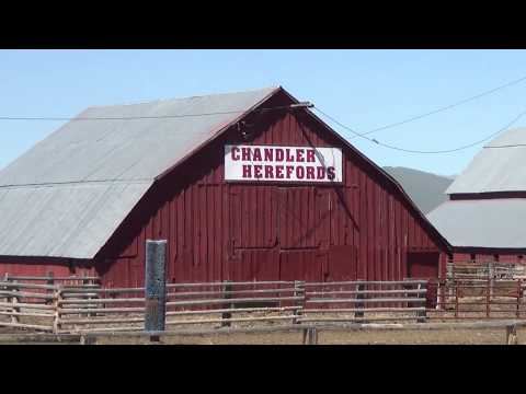 Chandler Herefords Cattle Drive: A.I. Cows and Calves