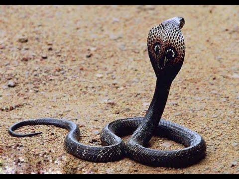 Wildlife  King Cobra Documentary 2015 HD