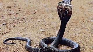 Wildlife  King Cobra Documentary 2015 HD