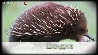 Животные на букву Е (1)