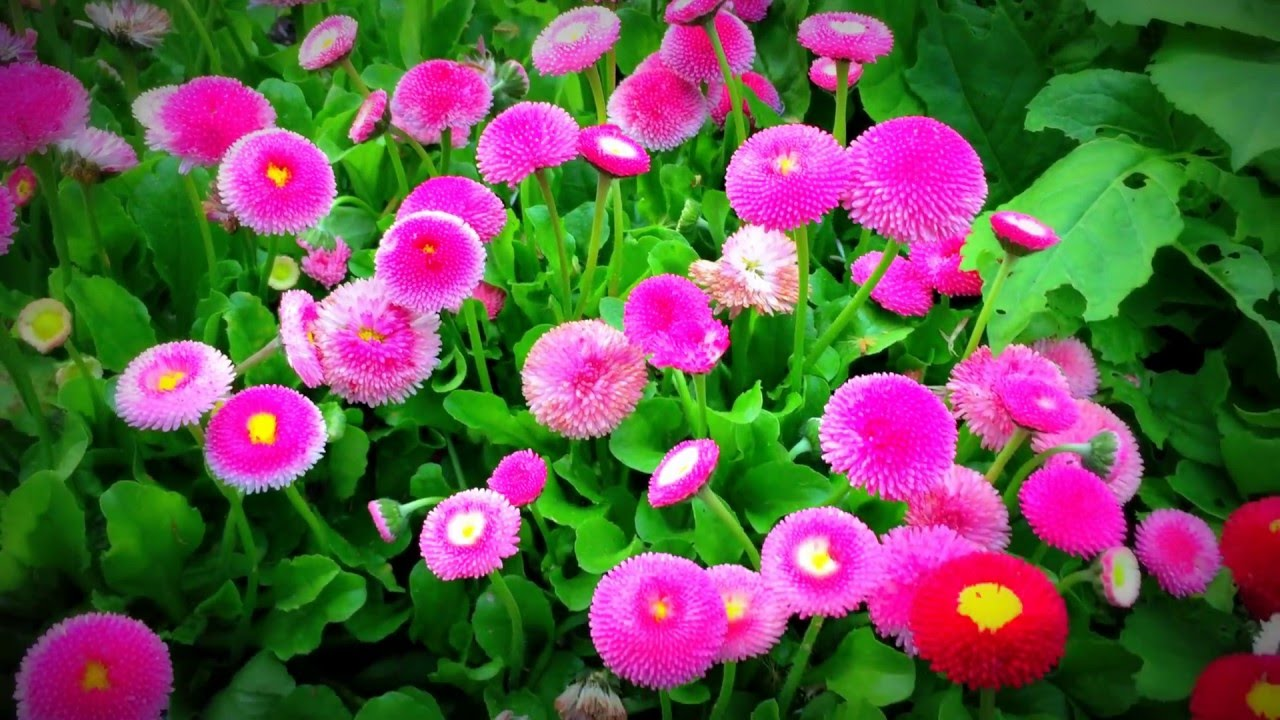 British Spring Flowers Mixed Chrysanthemum Chrysanths Chrysanths