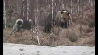 бои медведей видео
