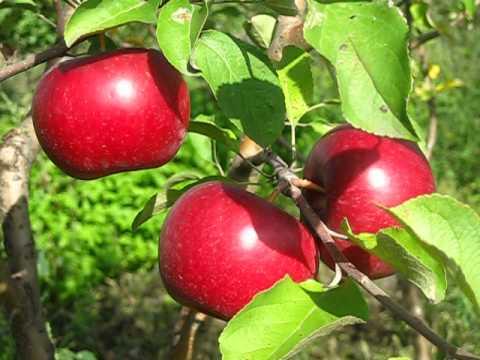 Яблоко Рубиновое Дуки.