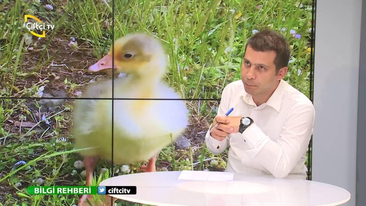 Kazların en verimli cinsi