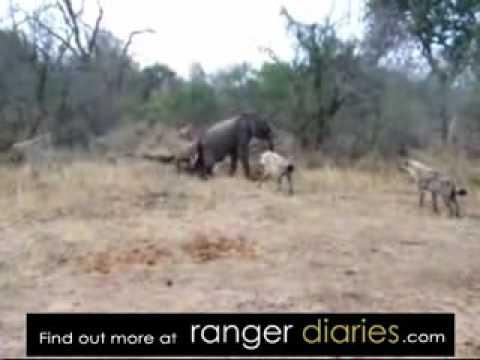 Hyenas Killing Elephan...