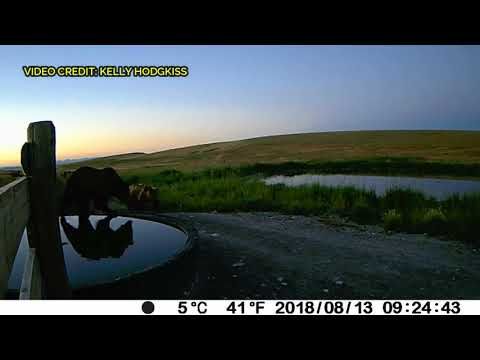 8 grizzly bears caught on video between Choteau and Augusta