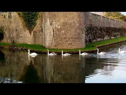 the-swans-of-'wells-cathedral'---somerset,-england