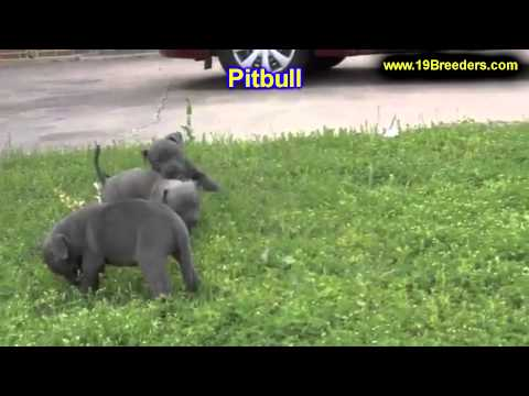Pitbull, Puppies, For, Sale, In, Detroit, Michigan, MI, Waverly, Holt, Inkster, Wyandotte, Forest Hi
