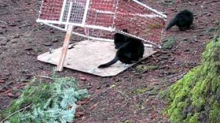 Trapping Feral Cats.AVI