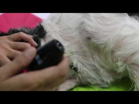 The 5-year-old Cavalier King Charles X is clipped bald Pt 3